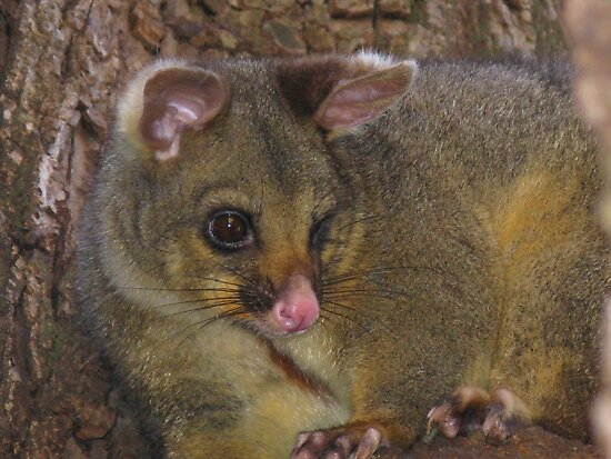 Brush-tailed Possum by Marilyn Harris