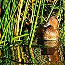 Hardhead duck by nadine henley
