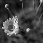 Pyrethrum Daisy by Clare Colins