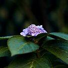 Hydrangea by Judy Harland