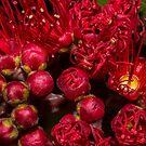 Pohutukawa Flower by Judy Harland