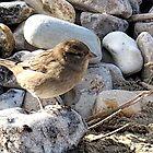 Small Bird on Pebbles........Dorset UK by lynn carter