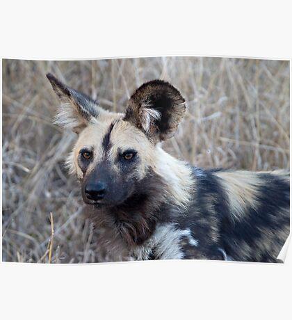 African Wild Dog Poster