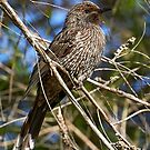 Little Wattlebird by Robert Elliott