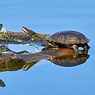 Eastern Snake-necked Turtles by Robert Elliott