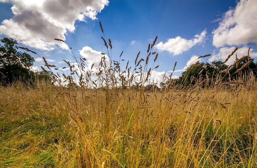 Golden Meadow Blue Sky by StephenRphoto