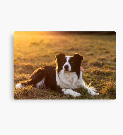 border collie at sunset Canvas Print