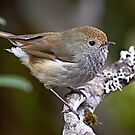 Tasmanian Thornbill by Robert Elliott