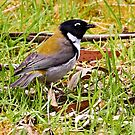 Black-headed Honeyeater by Robert Elliott