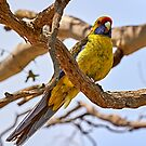 Green Rosella by Robert Elliott