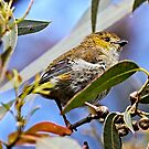 Forty-spotted Pardalote ~ rare and endangered  by Robert Elliott