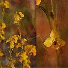 yellow goodenia by GrowingWild