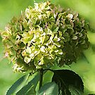 Just Green Hydrangea by Darlene Lankford Honeycutt