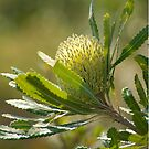 banksia by GrowingWild