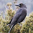 Tasmanian Currawong by Robert Elliott