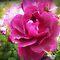 *Burgundy coloured Rose or Flower - Enchanted Flowers*