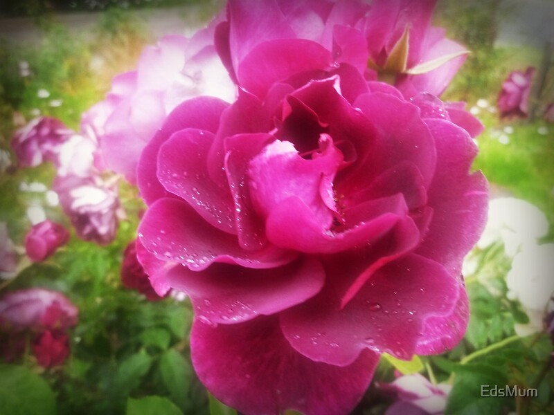 Quot Burgundy Iceberg Rose In My Spring 2016 Garden Quot By