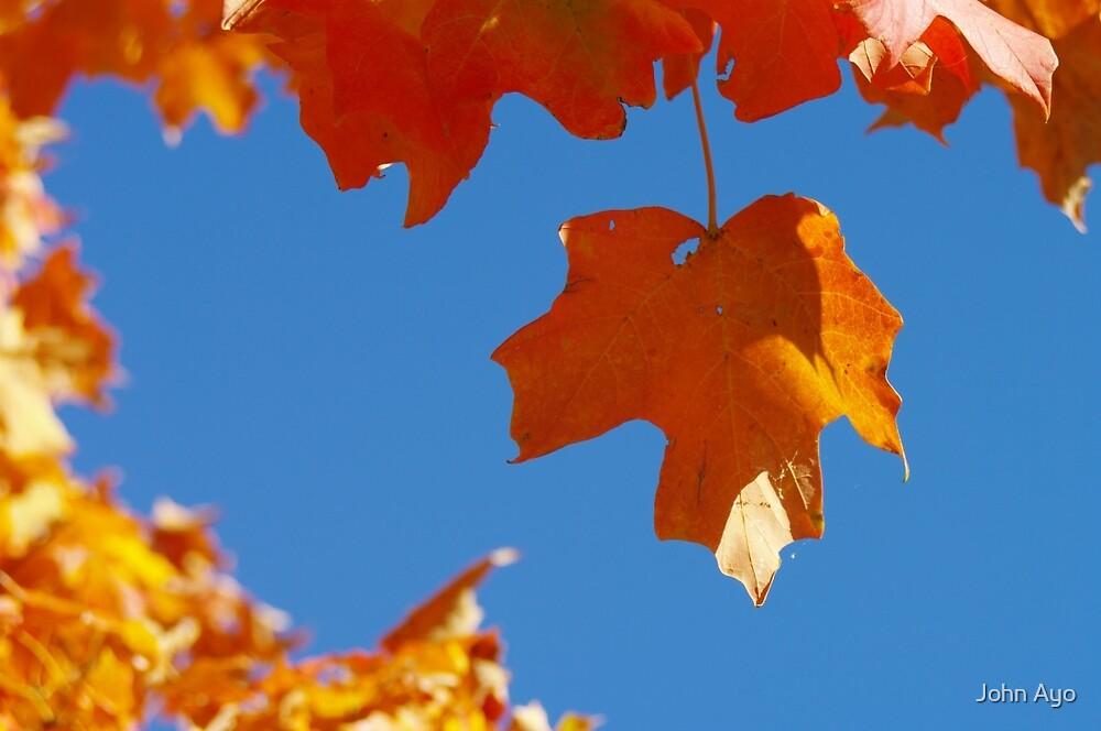 Maple Leaf In Fall by John Ayo