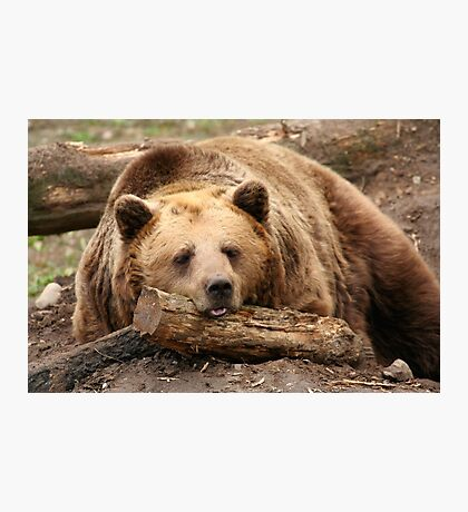 Time for A Nap - Brown Bear at the Bear Forest Photographic Print