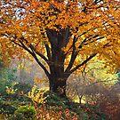 Autumn Glory of Beech Tree by JennyRainbow
