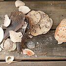 Found Shells -Florida by Jenny Hambleton