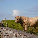 Bull - Ireland by Jenny Hambleton