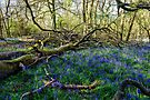 Blue Bells Blossoming in the Surrey Hills by MarcW