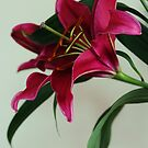 Oriental Lily by Jeanette Varcoe.