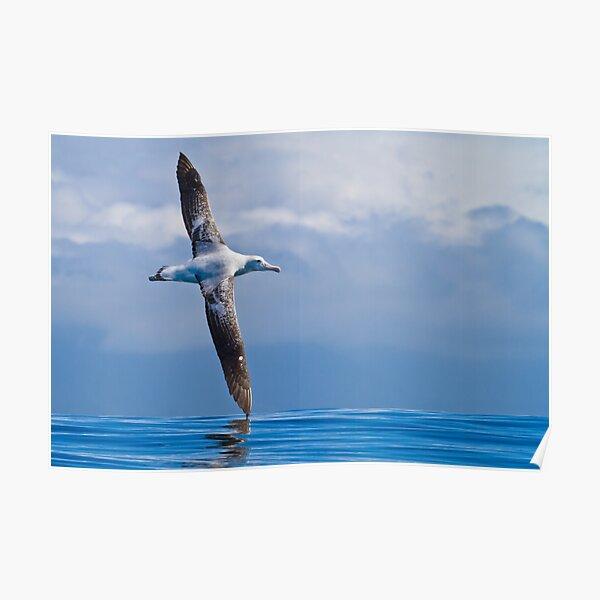 Wandering Albatross - New Zealand Poster
