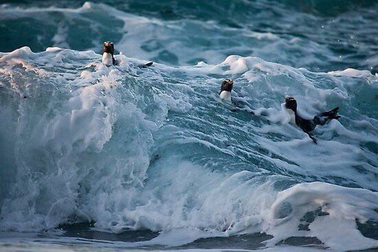 Fiordland Crested Penguin - New Zealand by Kimball Chen