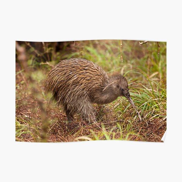 Stewart Island Kiwi - New Zealand Poster