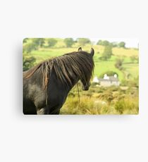 A Wild Fell Pony ... Canvas Print
