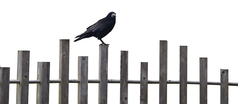 Crow on a fence by Matt Farmer