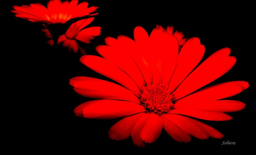Red Passion by Rosemary Sobiera