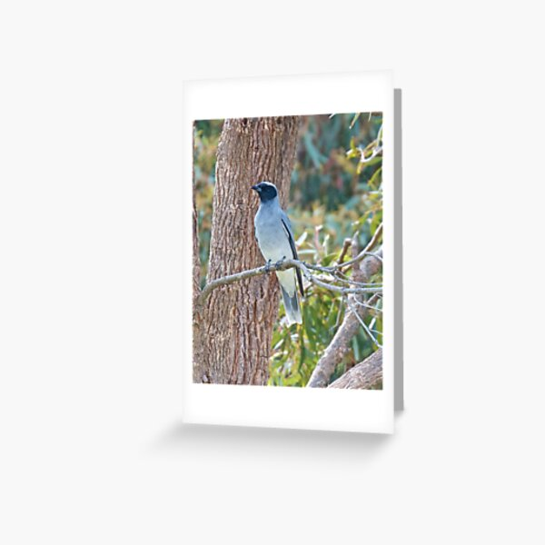 CUCKOOSHRIKE ~ Black-faced Cuckooshrike XZFXXU47 by David Irwin Greeting Card