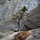 Tree on rockwall by zumi