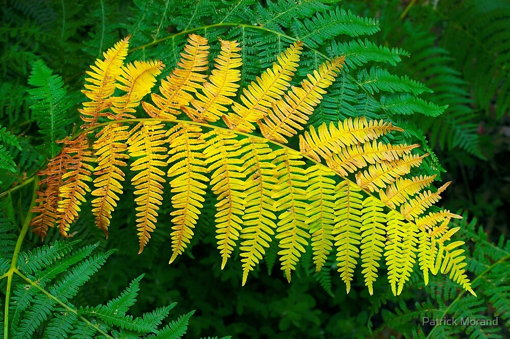 Ferns by Patrick Morand