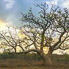 gantheaume boabab tree sunset  by Elliot62