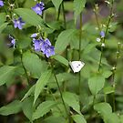 Cabbage White Butterfly on Tall Bellflower by Ben Waggoner