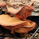 COPPER TRUMPET - Omphalotus olearus ? PLEASE VIEW LARGE by Magriet Meintjes