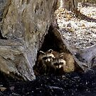 Stump with Raccoons by Kenneth Hoffman