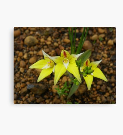 cowslip orchid Canvas Print