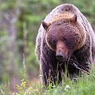 Big Mama Grizzly by James Anderson