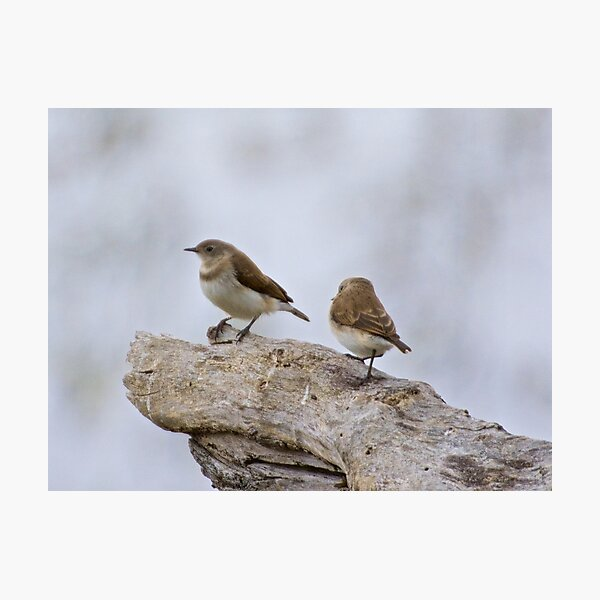 CHAT ~ White-fronted Chat Imm. YufjVuVE by David Irwin Photographic Print