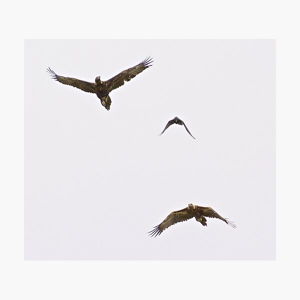 RAPTOR ~ Wedge-tailed Eagle R54TY86W, Forest Raven by David Irwin Photographic Print