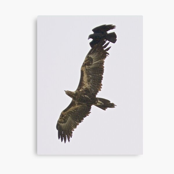 RAPTOR ~ Wedge-tailed Eagle QUVY27PN, Forest Raven by David Irwin Canvas Print