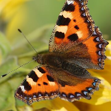 Small Tortoiseshell by declancarr