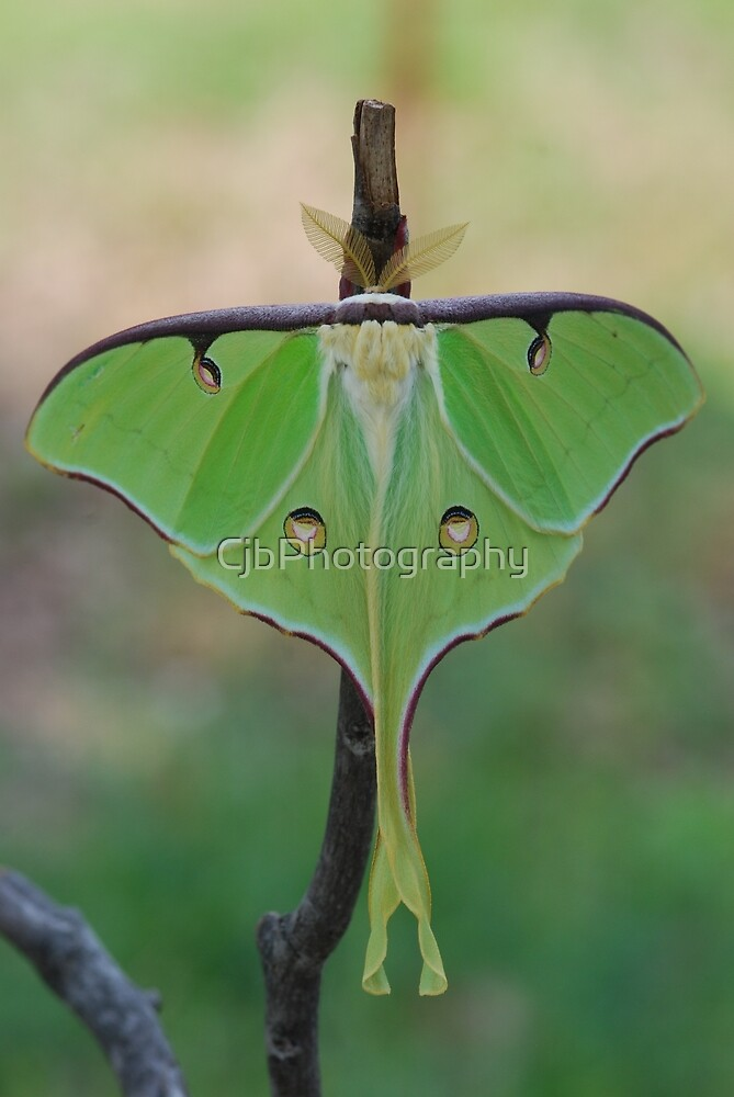 Luna Moth by CjbPhotography