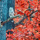 Barred Owl by Caleb Ward