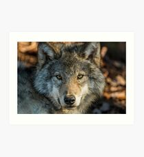 Timber Wolf - Looking at you. Art Print